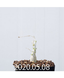 Momordica rostrata EQ783 Seedling 15104