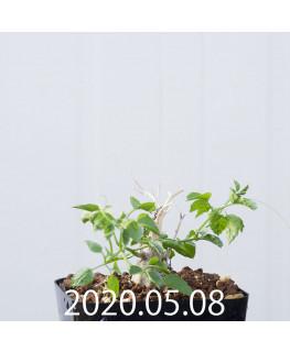 Momordica rostrata EQ783 Seedling 15106