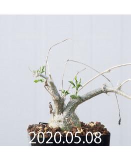Momordica rostrata EQ783 Seedling 15107