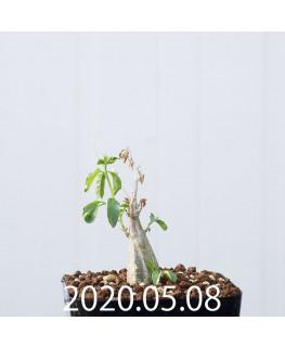 Momordica rostrata EQ783 Seedling 15108