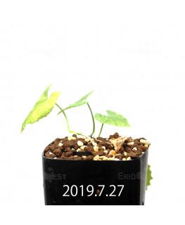 Ibervillea lindheimeri EQ793 Seedling 15156