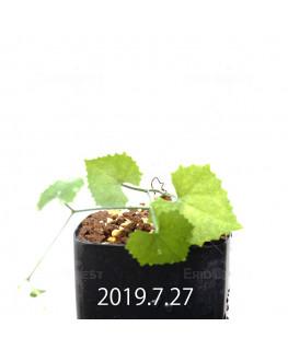 Ibervillea lindheimeri EQ793 Seedling 15157