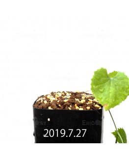 Ibervillea lindheimeri EQ793 Seedling 15159