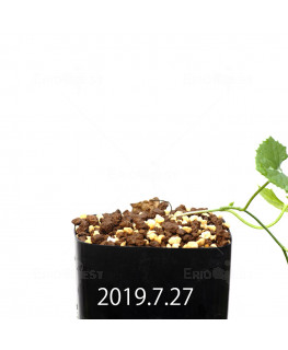 Ibervillea lindheimeri EQ793 Seedling 15160
