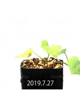 Ibervillea lindheimeri EQ793 Seedling 15161