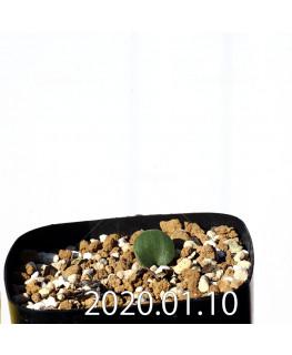 Eriospermum erinum EQ808 Seedling 15993