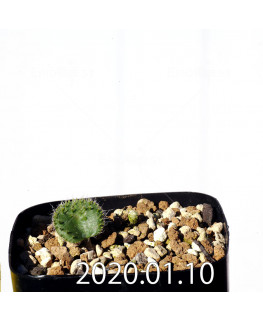 Eriospermum erinum EQ808 Seedling 15994