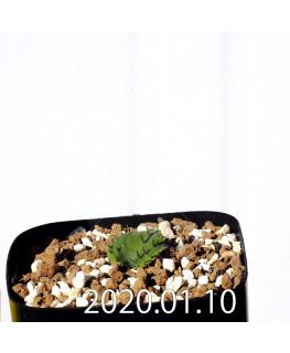 Eriospermum erinum EQ808 Seedling 16006