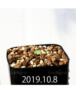 Eriospermum erinum EQ808 Seedling 16014
