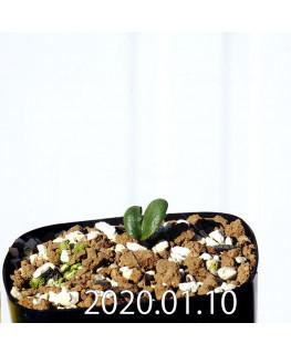 Eriospermum erinum EQ808 Seedling 16021