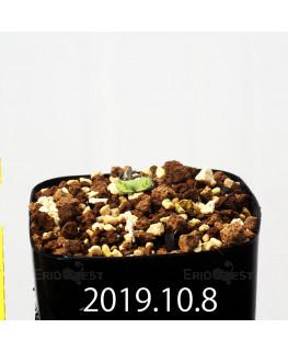 Eriospermum erinum EQ808 Seedling 16029