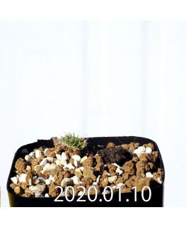 Eriospermum erinum EQ808 Seedling 16030
