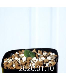 Eriospermum erinum EQ808 Seedling 16031