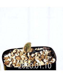 Eriospermum erinum EQ808 Seedling 16033