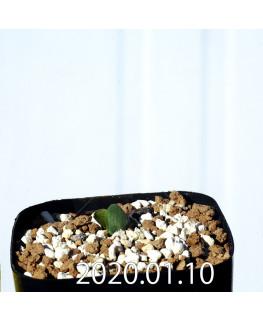 Eriospermum erinum EQ808 Seedling 16037