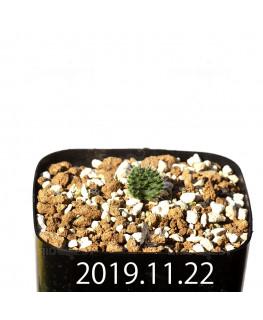 Eriospermum erinum EQ808 Seedling 16048
