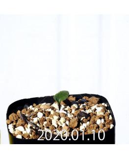 Eriospermum erinum EQ808 Seedling 16049