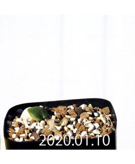 Eriospermum erinum EQ808 Seedling 16050