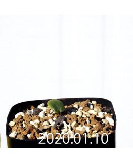 Eriospermum erinum EQ808 Seedling 16051