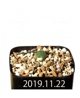 Eriospermum erinum EQ808 Seedling 16052