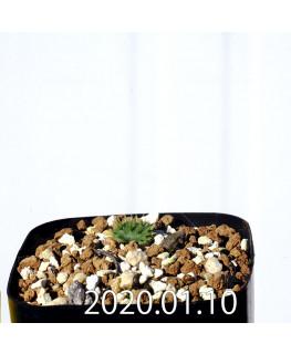 Eriospermum erinum EQ808 Seedling 16053