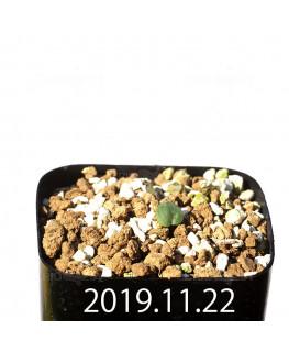 Eriospermum erinum EQ808 Seedling 16060
