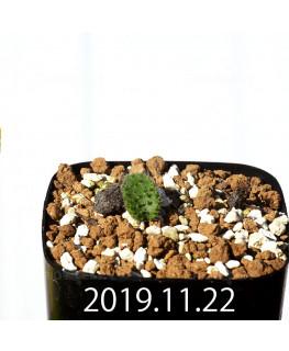 Eriospermum erinum EQ808 Seedling 16061