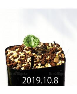 Eriospermum erinum EQ808 Seedling 16063