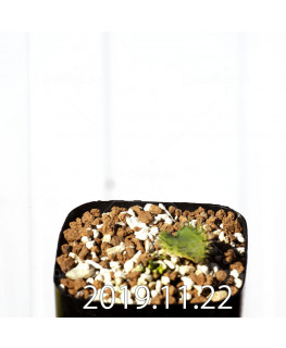 Eriospermum erinum EQ808 Seedling 16070