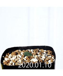 Eriospermum erinum EQ808 Seedling 16071