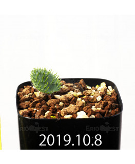 Eriospermum erinum EQ808 Seedling 16075
