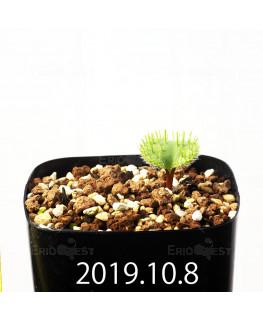 Eriospermum erinum EQ808 Seedling 16085