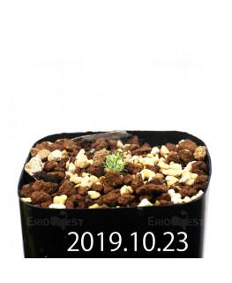 Eriospermum paradoxum EQ283 Seedling 16838