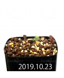 Eriospermum paradoxum EQ283 Seedling 16842