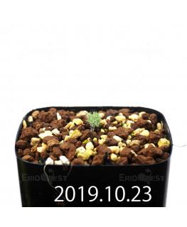 Eriospermum paradoxum EQ283 Seedling 16844