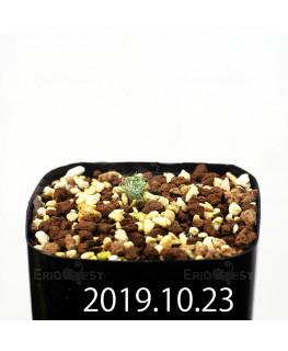 Eriospermum paradoxum EQ283 Seedling 16845
