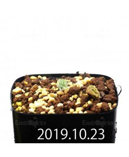 Eriospermum paradoxum EQ283 Seedling 16851