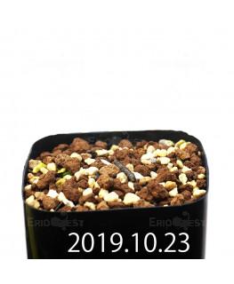 Eriospermum paradoxum EQ283 Seedling 16853