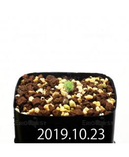 Eriospermum paradoxum EQ283 Seedling 16857