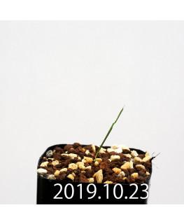 Lapeirousia silenoides EQ706 Seedling 17193