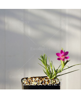 Lapeirousia silenoides EQ706 Seedling 17195