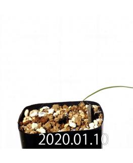 Lapeirousia silenoides EQ706 Seedling 17196