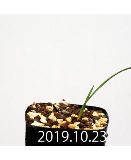 Lapeirousia silenoides EQ706 Seedling 17197