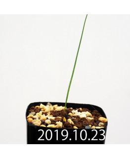 Lapeirousia silenoides EQ706 Seedling 17198