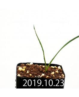 Lapeirousia silenoides EQ706 Seedling 17200