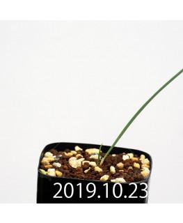 Lapeirousia silenoides EQ706 Seedling 17206