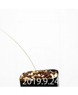 Lapeirousia silenoides EQ706 Seedling 17212