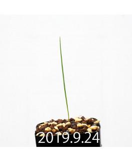 Lapeirousia silenoides EQ706 Seedling 17215