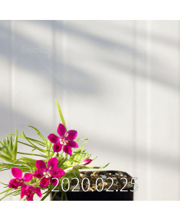 Lapeirousia silenoides EQ706 Seedling 17218
