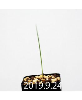 Lapeirousia silenoides EQ706 Seedling 17222